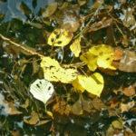 feuille peuplier sur l'eau